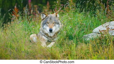 One large adult male grey wolf rests in the forest - One...