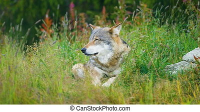 Large adult male grey wolf rests in the forest - Large adult...