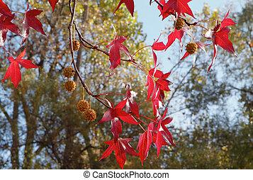 Red Sweetgum tree leaves - Bright Red Sweetgum tree leaves...