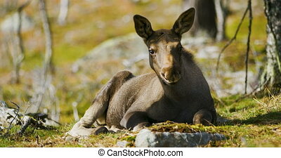 Close-up of a young moose calf rests on the forest floor -...