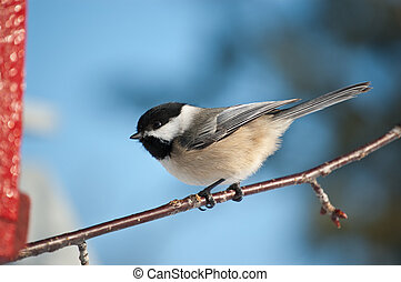 Black-capped Chickadee on a Branch - A Black-capped...