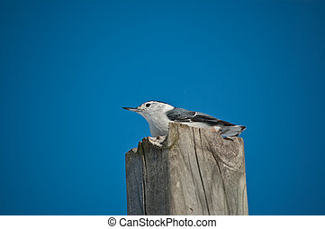 White-breasted Nuthatch on a Wooden Post