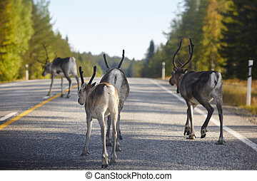 Reindeers crossing a road in Finland. Finnish landscape....