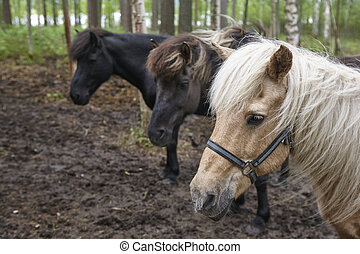 Horses in a Finland forest landscape. Animal background.