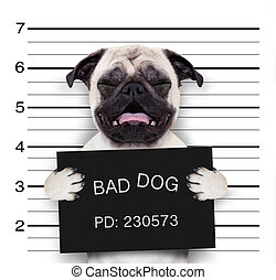 mugshot dog at police station - criminal mugshot of pug dog...