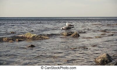 Slow motion two seagulls on stones on the shore
