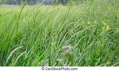 field grasses and flowers in Russia - A field grasses and...