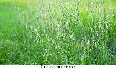 Green oats sway in the wind in Russia