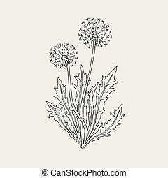 Beautiful drawing of dandelion plant with ripe seed heads or...