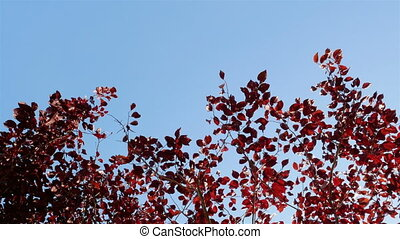 red leaves in sunny, blue sky. Environmental concept.