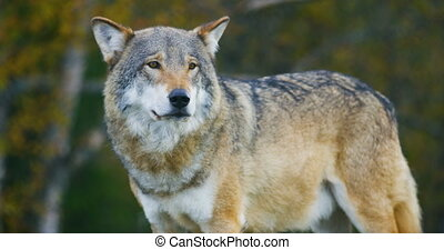Close-up of beautiful grey wolf standing in the forest...