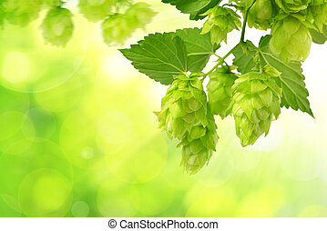 Branch of hop with cones and leaves (Humulus lupulus) on...