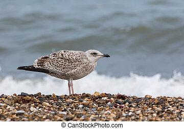 Seabird. Juvenile sea gull. Young bird in profile on the...