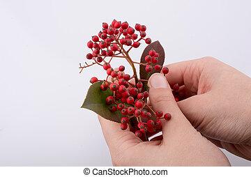 Wild fruit found in hand on white background - Wild fruit...