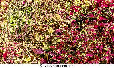 Coleus plant ornamental leaves - Coleus colorful leaves,...