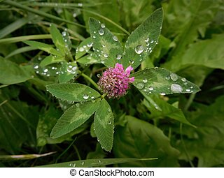 The raindrops on trefoil - Water is magic thing. When rain...