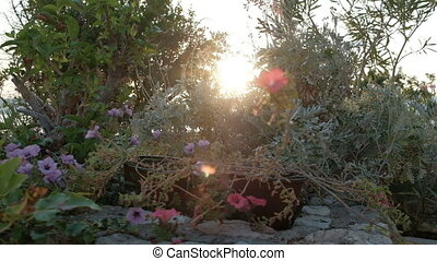 Setting sun illuminates flowers in a flowerbed with...