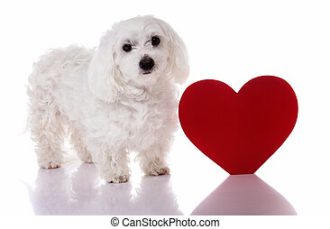 Maltese dog with red Valentine heart standing and looking in...