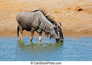 Wildebeest drinking water - A blue wildebeest (Connochaetes...