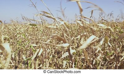 The stalks of ripe corn sway in the wind - Dried stalks of...