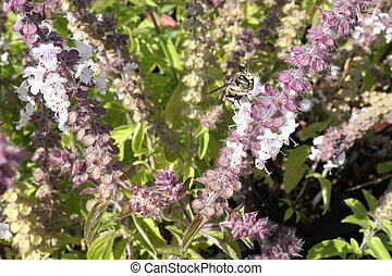 European wool carder bee on blooming basil herb. wild...