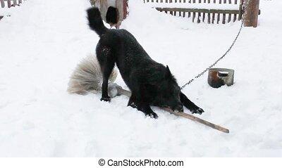 Black yard dog plays in the winter - A black yard dog plays...