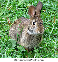 Eastern cottontail rabbit in forest of Thornhill, Canada,...