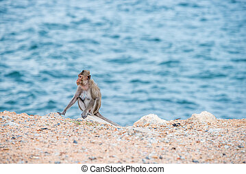 mother monkey sitting on the sand with sea background -...