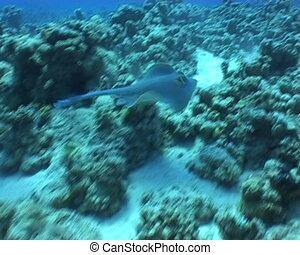 eagl ray underwater vide - underwater diving video