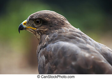 steppe eagle - Shot of the bird of prey - steppe eagle