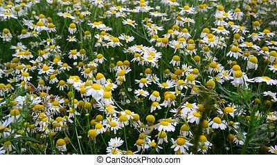 Glade with field chamomiles - A glade with a field...