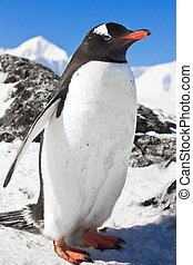 penguin on the rocks - penguin standing on the rocks covered...