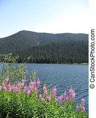 Fireweeds scenic - Beautiful Jack of clubs lake, in Wells,...
