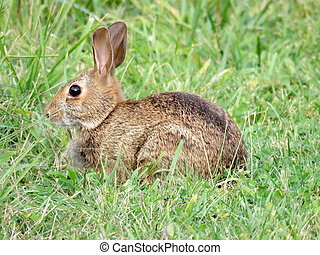 astern cottontail rabbit on the grass - Eastern cottontail...
