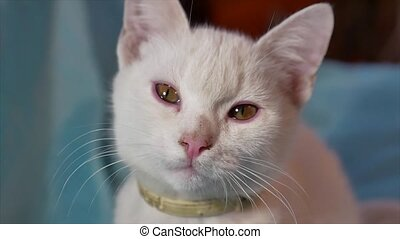 cat white pet portrait. beautiful spotted cat sits by the window portrait indoor