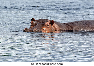 Hippopotamus on the Nile River in Africa