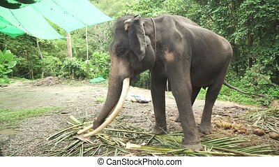 Large elephant with tusks stock footage video - Large...