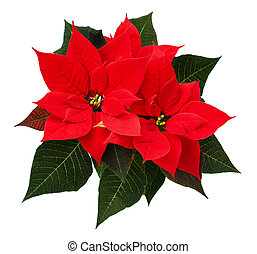 Closeup of red Christmas poinsettia flowers isolated on...