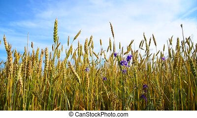 Wheat field with blue wildflowers - A wheat field with blue...