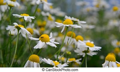 Fly sits on Field Camomile - A fly sits on a Field Camomile