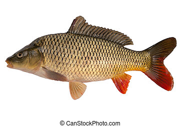 Carp has tasty dietary meat Fishing carp great pleasure