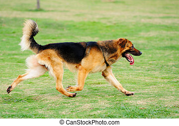 Dog running - A German Shepard running on the lawn