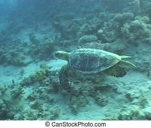 turtle underwater diving video