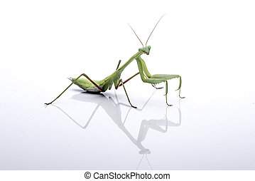 Giant Asian Mantis. Green insect, isolated on a pure white...