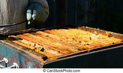 Beekeeper takes out frame with honey from the hive - The...