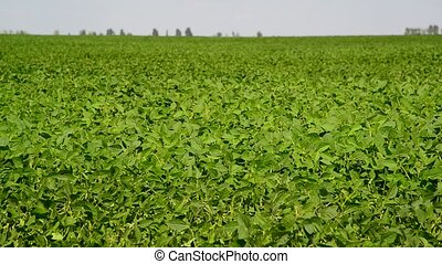 field of young green beans - A field of young green beans
