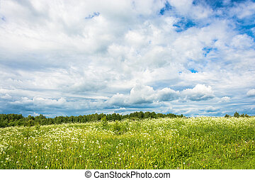 A field of white flowers against the cloudy sky. - A field...