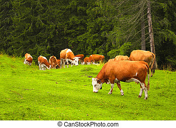 Cows grazing in a mountain meadow, Carpathians, Romania -...
