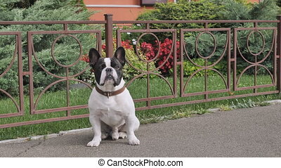 Adorable doggy white and black color outdoors - French...