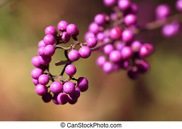 Beautyberry Callicarpa